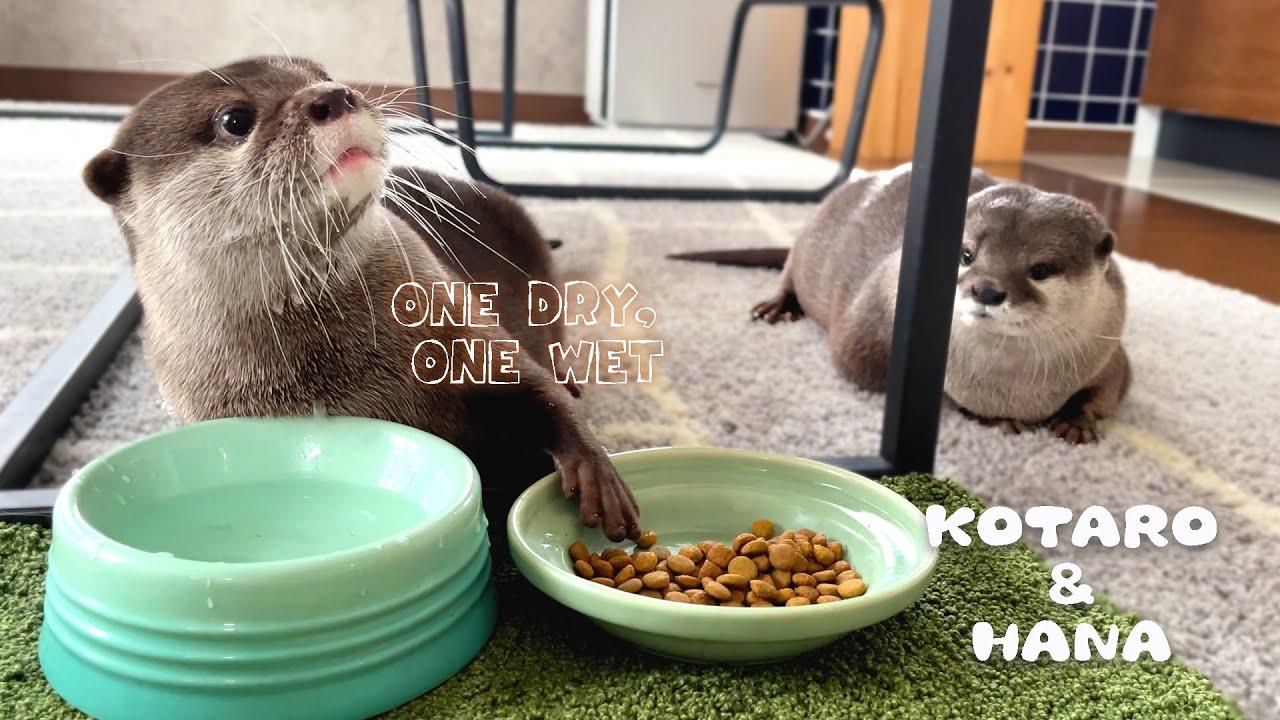 変わったごはんの食べ方するカワウソコタローを見て真似するハナ Two Otters with Different Table Manners