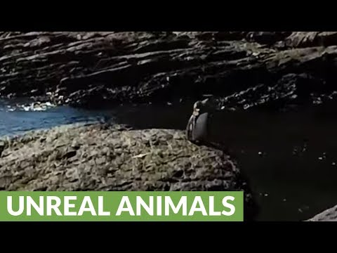 Adorable penguin unexpectedly found at equator in Galapagos
