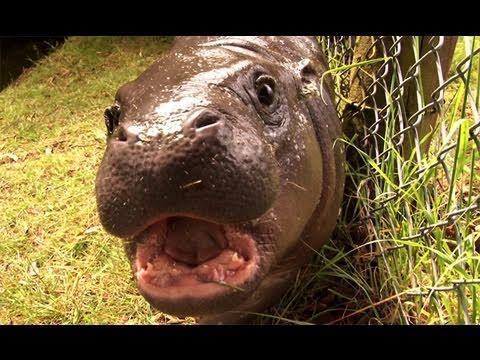 Get up close up to our baby pygmy hippo