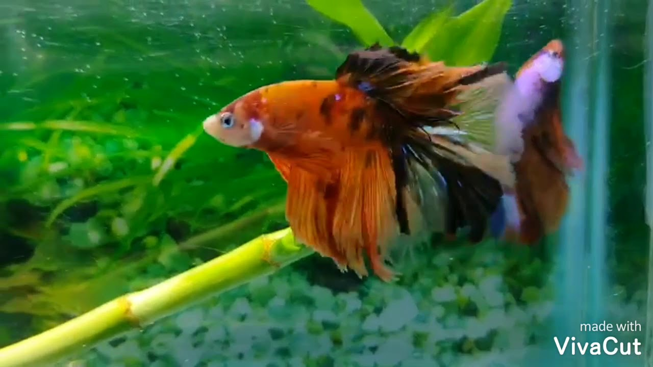 live betta fish for sale online india