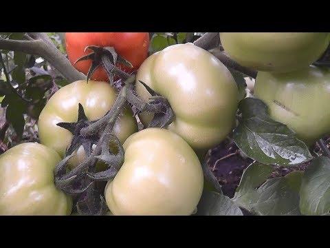 Обзор урожайных сортов томата для открытого грунта