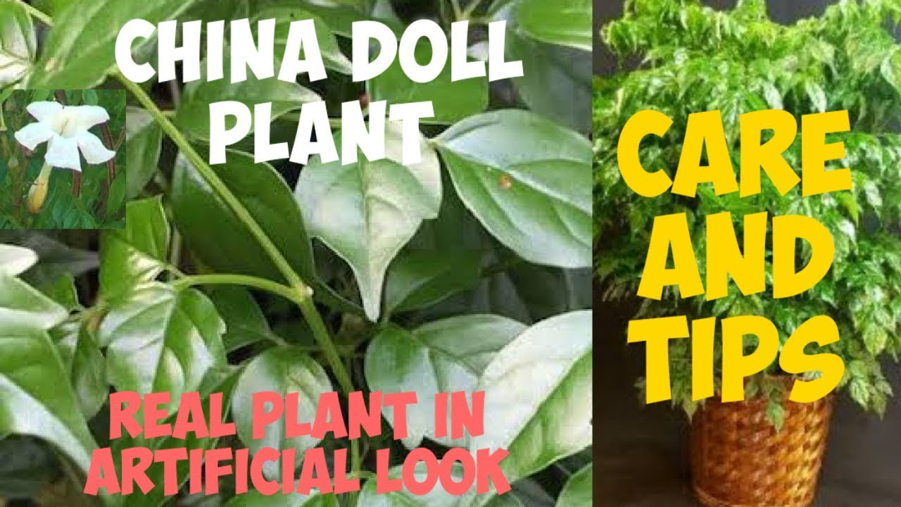 How To Grow China Doll Plant Care Of China Doll Plant Urdu Hindi Youtube
