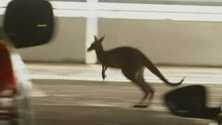 Kangaroo Sparks Hunt In Carpark At Melbourne Airport, Australia