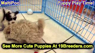 Maltipoo, Puppies, For, Sale, In, Portland, Maine, Me, Brunswick, Waterville, Westbrook, Saco