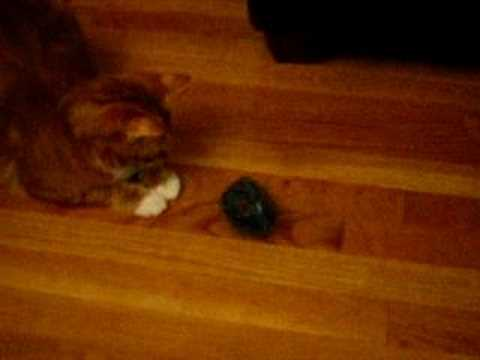 Thumbnail for Cat Video Cat Plays With Dreidel