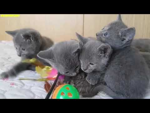 Russian Blue Cat Onlinetheplanet Compilation Video 2019