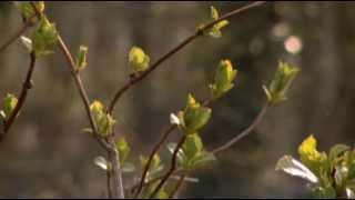 Forsythia en hortensia vermeerderen door afleggen - Groei & Bloei
