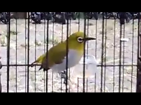 Kicau Burung Pleci Gacor   Burung Kacamata (70) - YouTube 758ae860f6