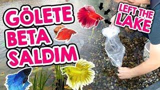 Gölet'e Betaları Saldım - Betalar Çok Şaşırdı - Betta Fish Habitat
