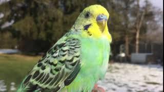 Young Male Budgie/Parakeet(Buglavosh)(Волнистых попугаев)