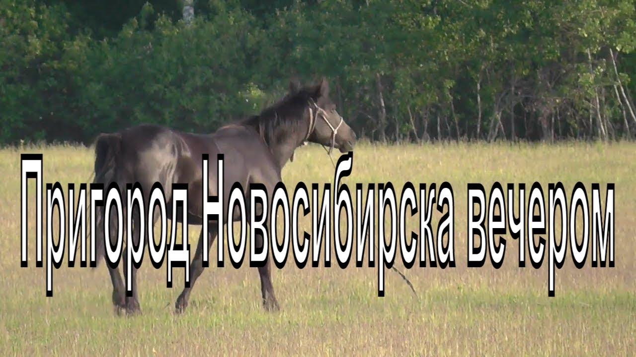 Пригород Новосибирска вечер , зелёный луг. Природа.  Красивая лошадь пасется на лугу.  Птицы.