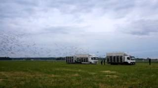 SETA (Lithuania) 4438 Romania pigeons release
