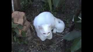 Кошка альбинос с котятами. 2014