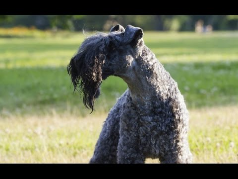 Kerry Blue Terrier - Dog Breed