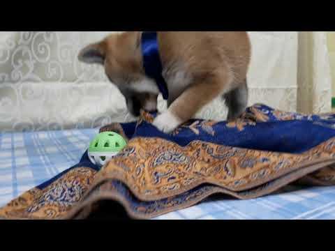 PuppyFinder.com : Curry the yellow Shiba Inu boy
