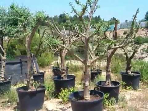 olivos ornamentales jóvenes - youtube