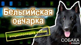 Бельгийская овчарка. Энциклопедия пород собак.