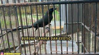 Download Mp3 BURUNG MURAI PAPUA SI CANTIK BERSUARA KHAS