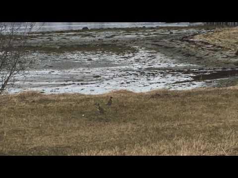Fuglen Heilo i Rossfjordstraumen