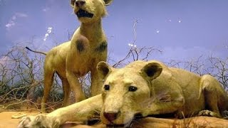 Download Video The Man Eating Lions of Tsavo! MP3 3GP MP4
