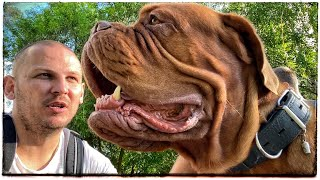 BIG DOG 95 kg. FRENCH MASTIFF. Dogue de Bordeaux