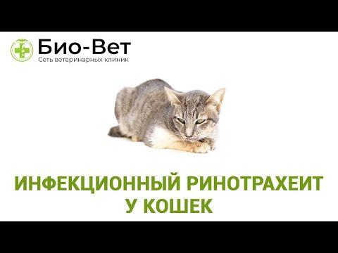 Инфекционный ринотрахеит у кошек. Ветеринарная клиника Био-Вет.