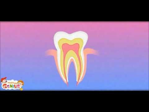 Our Teeth -Types & Structure - Kids School Education Video