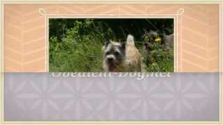 Training Cairn Terrier Puppies