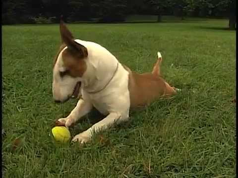 Miniature Bull Terrier - AKC Dog Breed Series