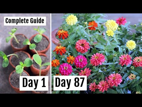 How To Grow & Care For Zinnia To Get Lots Of Blooms [with Updates]