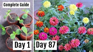 How to Grow & Care for Zinnia to Get Lots of Blooms with Updates