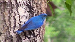 Mountain Bluebirds falling in love