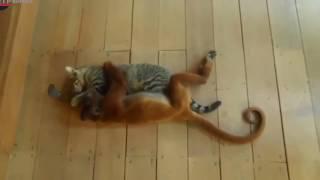 Обезьяны и кошки