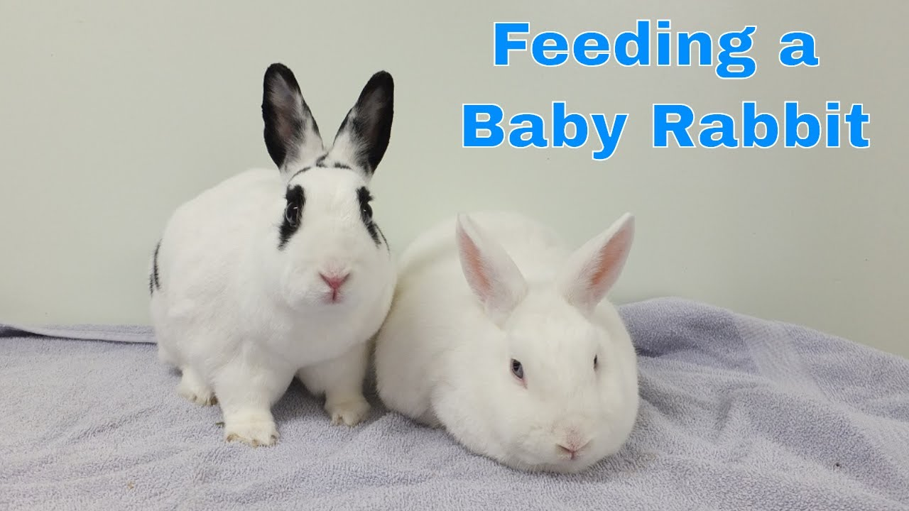How to feed a newborn rabbit milk - YouTube