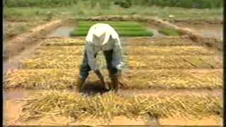 Rice Nursery Growing for Transplantation – Pakistan
