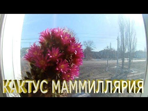 Кактус маммиллярия.Цветущий кактус.Как ухаживать за кактусом в домашних условиях.Уход за кактусами