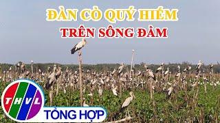 Cận cảnh đàn cò quý hiếm trên sông Đầm ở Quảng Nam