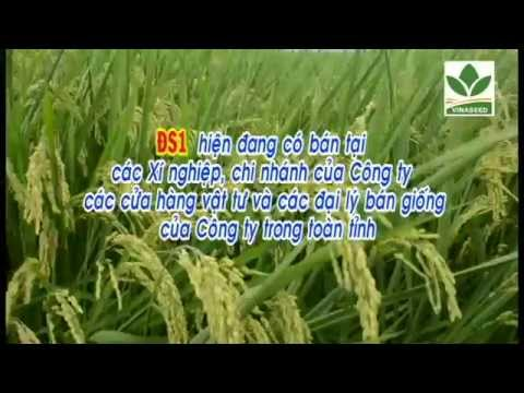 Bạn của nhà nông - Giống lúa Nhật (Japonica) ĐS1