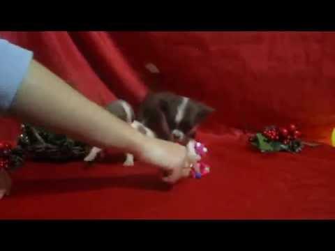 Мини чихуахуа играют у себя в комнатеиз YouTube · С высокой четкостью · Длительность: 28 с  · Просмотры: более 4000 · отправлено: 02.10.2014 · кем отправлено: Puppy Time