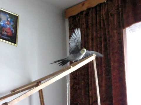 Papuga nimfa, Samiec - RANO :)
