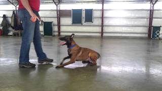 "Malinois Obedience Protection Trained ""juju"" For Sale Personal Protection Dog"