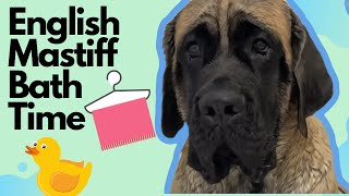 Mastiff Bath Time170 lb English Mastiff Demi Gets A Bath!