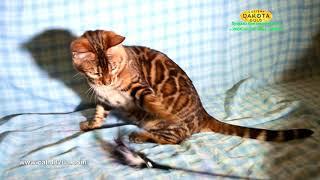 BOY, 2 Dakota Gold, bengal cat, cattery, kitten, 03122018