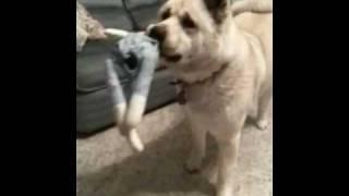 我が家の愛犬。Beowulfと言います。