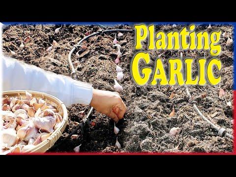 How to Plant Garlic Organic Garden Manila London Gardening Paano Magtanim Ng Garlic Guide Patnubay