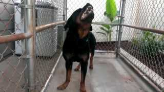 Feeding Rottweiler A Raw Diet