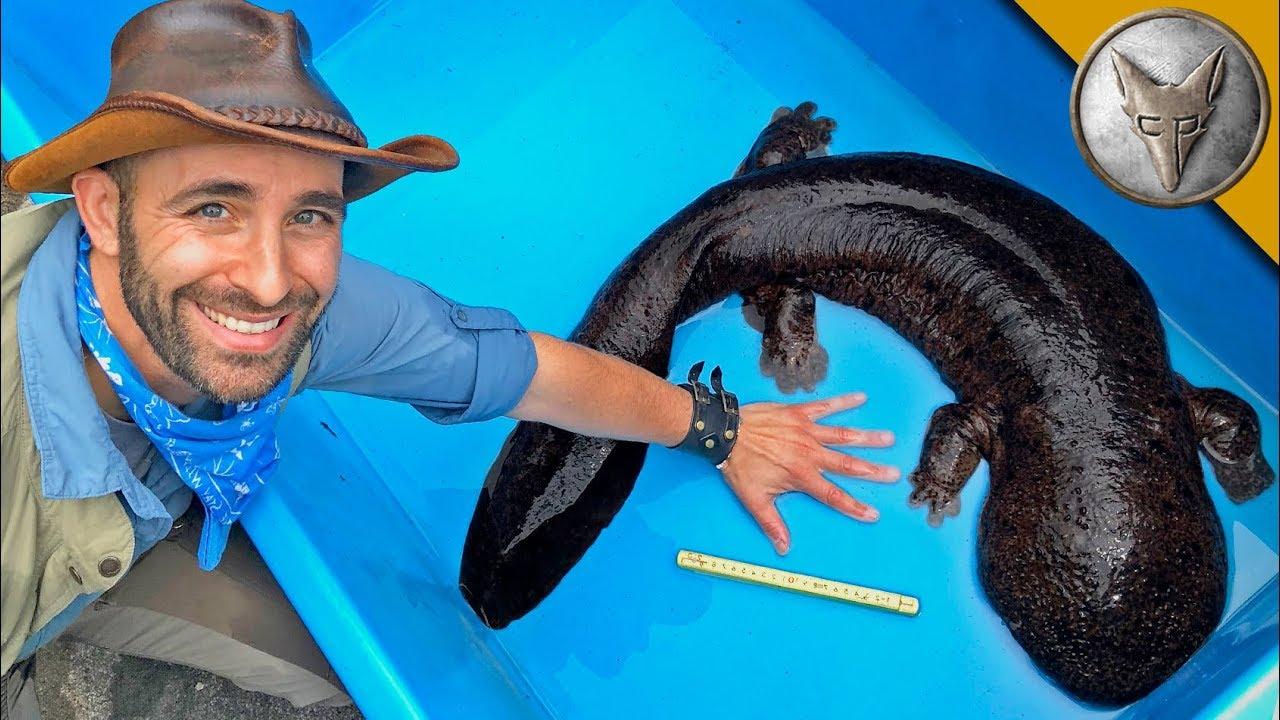 BIGGEST Salamander in Japan!