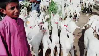 Animal Family Goat Farming Bakra Mandi Pakistan