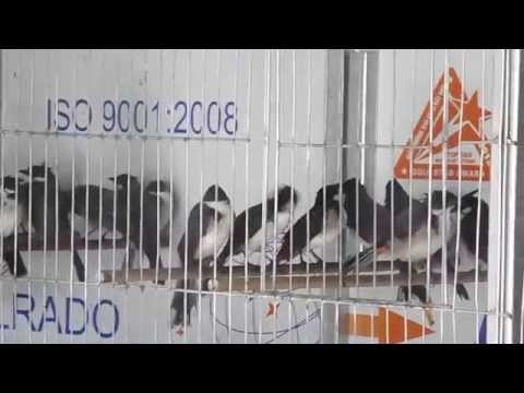 Chào mào bẫy lưới 150k/con - www.chimcanhvietnam.vn