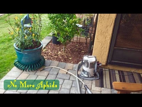 How To Control Aphids on Milkweed Plants- Monarch Butterfly